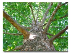 Sycamore tree web