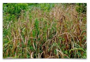 weeds & wheat